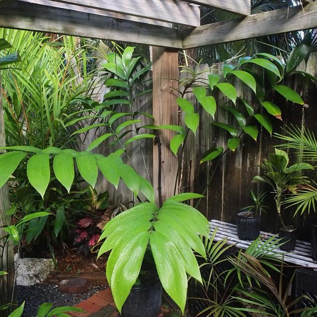 Zamia Skinneri, cycad from Panama, after thus morning's rain. #greenparrotbar #cycads