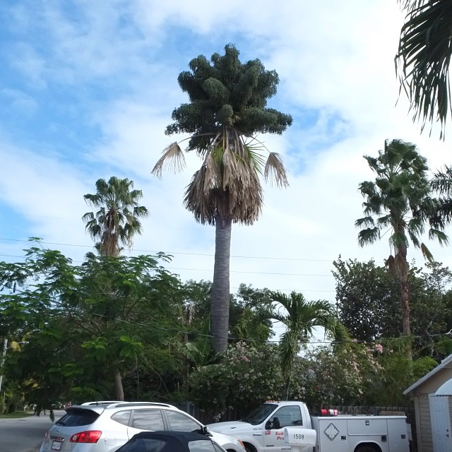 Corypha Utan in Key West with inflorescence. These palms flower only towards the end of their lifetime, but when they do flower they send up a massive inflorescence up to 5m high, and with an estimated one million flowers.