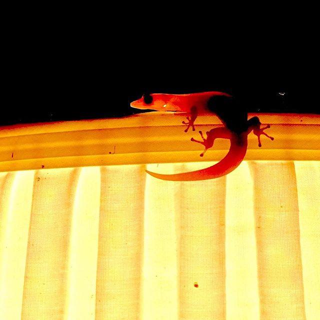 Gecko on the lampshade (stalking a wild termite) #greenparrotbar #gecko #danskeywestgarden #keywest