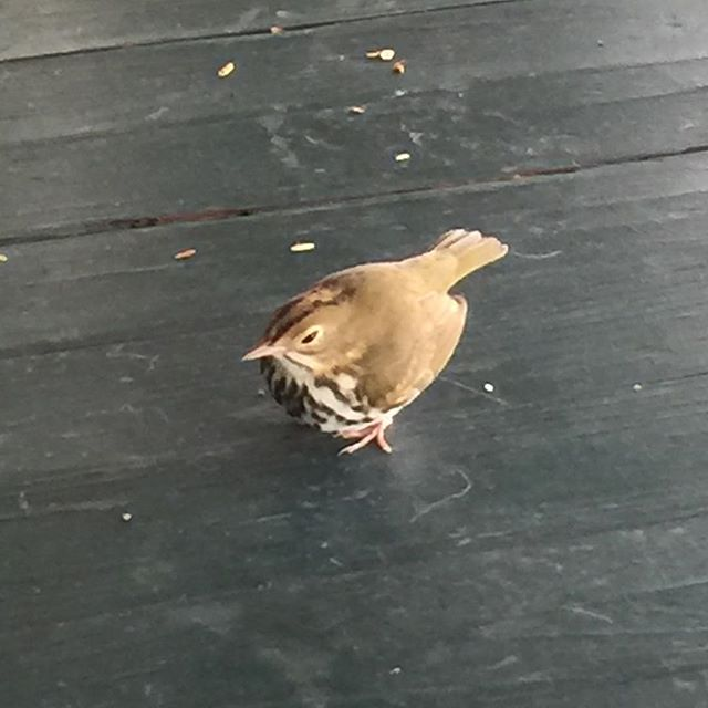 This tiny bird, sitting on the porch of our package goods store Sunday morning, as high winds and squalls were about, was identified by our good friend, patron, and birder Mark Hedden as
